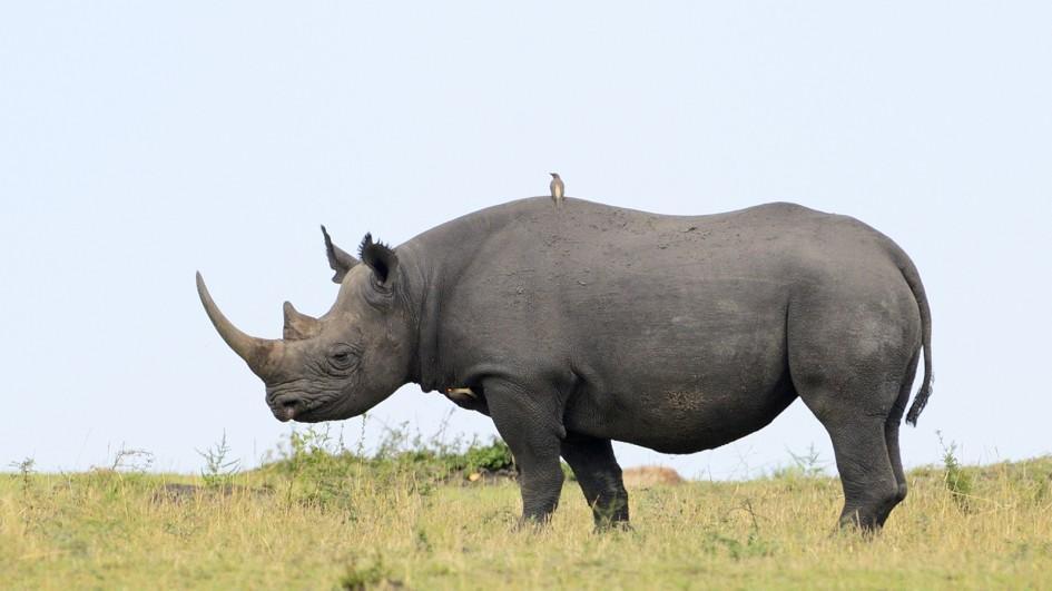 black-rhino-yellow-grasses.jpg.adapt.945.1